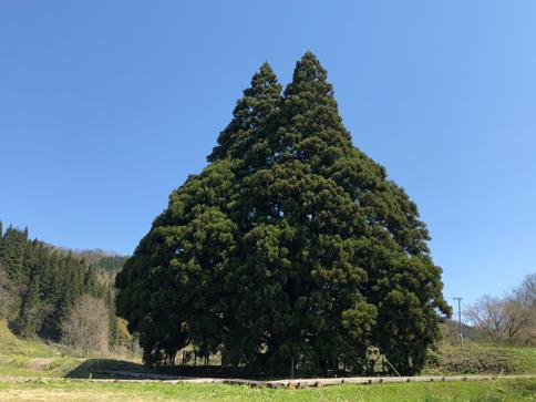 小さくない大きな杉の木