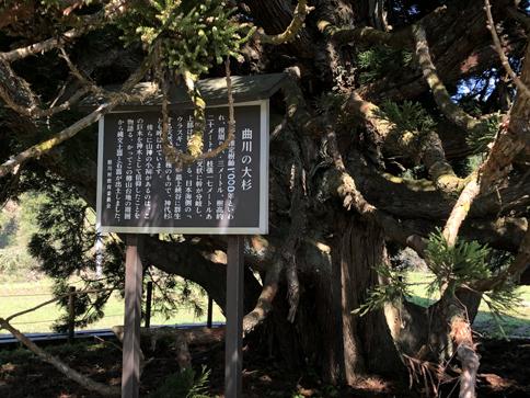 小杉の大杉はご神木